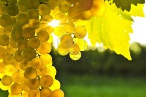 yellow-grapes-growing-on-vine-in-bright-sunshine