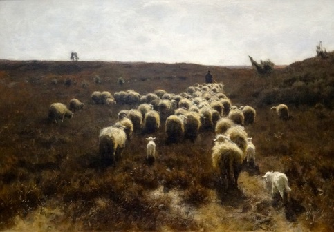 gathering of sheep